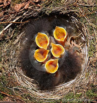 baby-birds-in-nest-thumb14036800