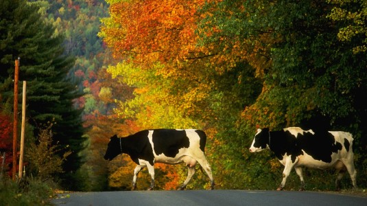 cow-crossing_68424
