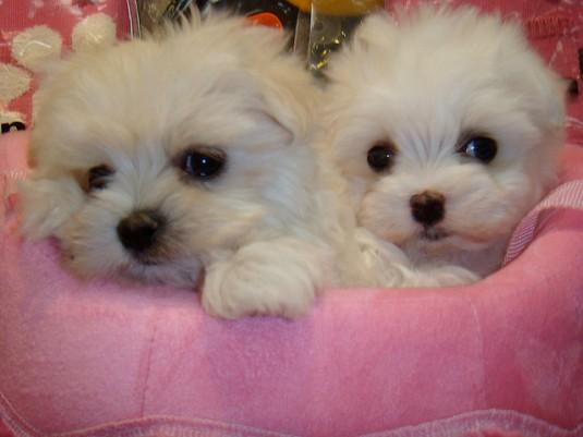 teacup-maltese-puppies-on-sale-1155368
